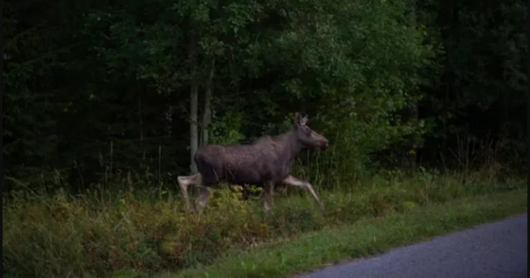 Nyt tarkkana maanteillä: lauantaina alkava metsästyskausi saa hirvet ja peurat liikkeelle