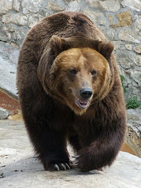 Karhu kohteli kaltoin autoa Kuusamossa