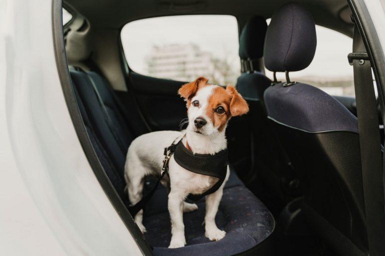 Yllättävän moni laiminlyö lemmikin kiinnittämistä autossa